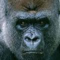 上野動物園のゴリラは・・・